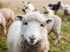 N-VA Zaventem schapenweide Nossegem